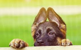 german shepherd screensaver and puppy wallpaper high quality for