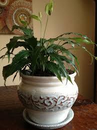 indoor house plants plants pinterest houseplant indoor
