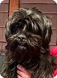 affenpinscher dog names this is an affenpinscher so messed up looking and cute animals