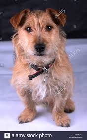 bichon frise jack russell cross temperament cross bred dog stock photos u0026 cross bred dog stock images alamy