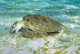 sea turtles eating plastic at record rates amid surge in pollution