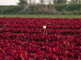 red tulips field with in the middle a white tulip u2014 stock photo
