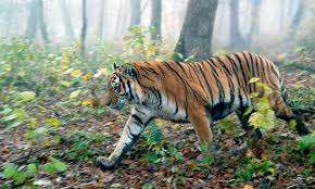 amur tiger species wwf