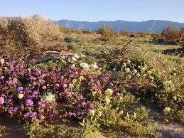 Anza Borrego Wildflowers Super Bloom by Super Bloom