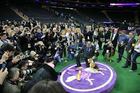 affenpinscher westminster 2015 16 things you probably didn u0027t know about the westminster kennel