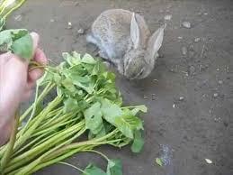 rabbit food how to grow kang kong for free rabbit food