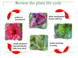 Life Cycle Of A Flowering Plant - sexual reproduction in plants