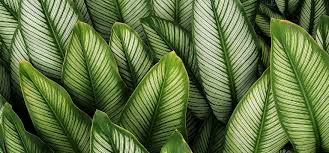 green plants all you need to about calathea plants greener on the inside