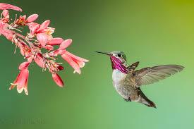 Hummingbird On A Flower - hummingbirds hawks aloft inc