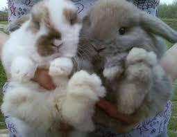 lion heads for sale rabbits lops dwarfs and lionheads for sale san antonio