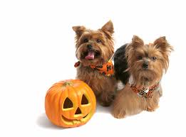 halloween costumes for yorkies dogs 100 halloween pets 190 best dog costumes images on