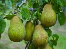 pear tree multi variety fruit tree pear 5 varieties on one tree