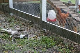 naturally loriel backyard chickens free range vs enclosed run