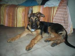 australian shepherd 3 mesi pedigree database