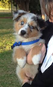australian shepherd rescue san diego and friends australian shepherd puppy one green eye and one blue eye