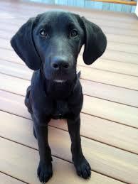 bluetick coonhound basset hound mix hound archives rocket dog rescue