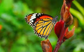 red butterfly hd download