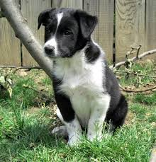 australian shepherd x border collie choosing collie and shepherd crosses puppies for sale dogs for