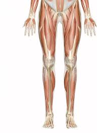 Interactive Muscle Anatomy Of The Leg And Foot