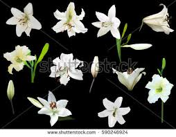 white lilly illustration white flowers isolated on stock vector 590246924