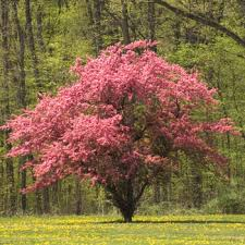 small flowering trees best 25 small trees ideas on