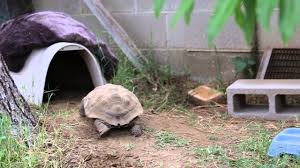 Petmate Indigo My Tortoise U0027s Dog House Youtube