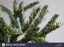 nordmann fir abies nordmanniana close up of branches of