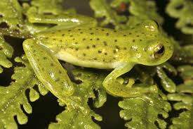 strange and interestingly unique facts about glass frogs
