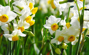 daffodils flowers images and wallpapers download