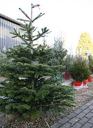 real christmas trees for sale christmas trees swindon christmas tree decorations swindon