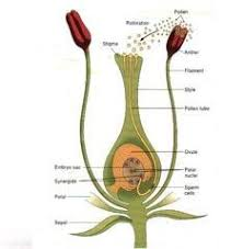 Reproduction In Flowering Plants - reproduction in flowering plants at university of mississippi
