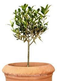 growing olive trees indoors olive tree care