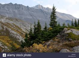alpine vegetation alpine fir trees rocky mountains jasper