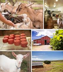 Get Your Goat Rentals by Surfing Goat Dairy Our Farm Experience