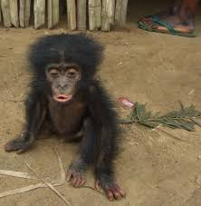 siege social bonobo can we save congo basin from silence national