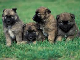 belgian shepherd dog temperament belgian malinois dogs pets cute and docile
