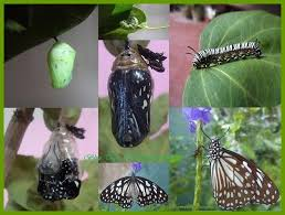 butterfly lifecycles nymphalidae brushfooted lifecycle of