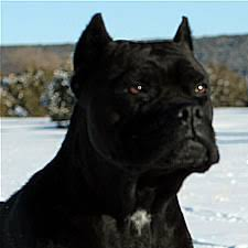 boxer dog with full tail about time cane corso italiano ear crop information