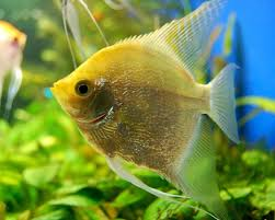 angel fish live in water free download angel fish live in water