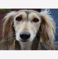 afghan hound breeders qld kennels italian greyhound tibetan spaniel saluki breeder hobart