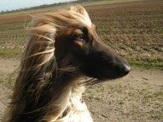 afghan hound harga a lovely way to keep all that beautiful hair up and out of the way