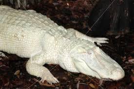 albino animals images albino alligator wallpaper and background