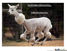 Alpaca Sheep Meme - poodle by navis meme center