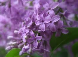 State Flower Of Colorado - purple lilac state symbols usa
