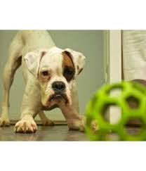 boxer dog female boxer puppies sale at pet store nepal