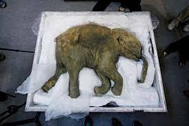mammoth size u0026 facts britannica