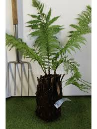 buy dicksonia tree ferns uk delivery