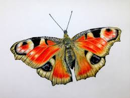 artful evidence coloured pencil sketch peacock butterfly
