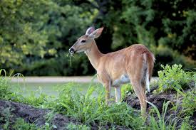 Deer Proof Fence For Vegetable Garden Garden Deer Fence How To Keep Deer Out Of Your Garden And Away