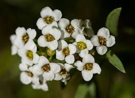 alyssum flowers white alyssum flowers learning to see light